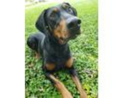 Adopt Riley - Sponsorship a Black - with Tan, Yellow or Fawn Doberman Pinscher /
