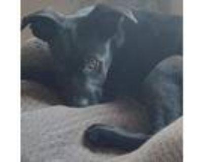Adopt Token a Pit Bull Terrier