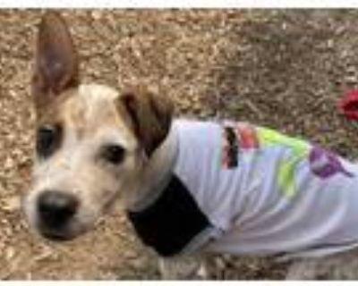 Adopt FLO a Australian Cattle Dog / Blue Heeler