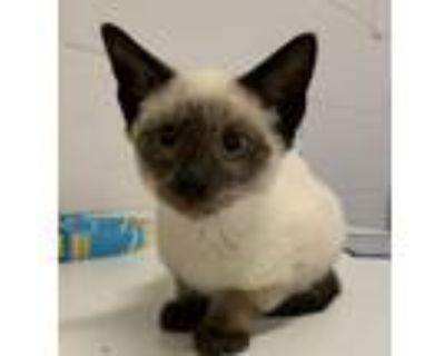 Adopt Pye a Cream or Ivory Siamese / Domestic Shorthair / Mixed cat in Orlando
