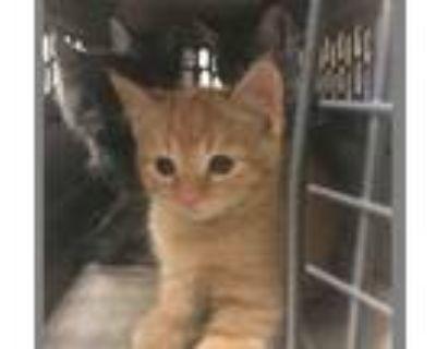 Adopt BULLWINKLE a Domestic Short Hair