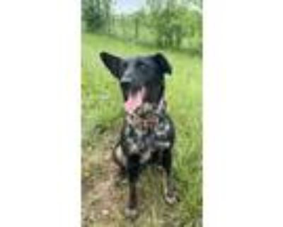 Adopt Miracle a Labrador Retriever, German Shorthaired Pointer