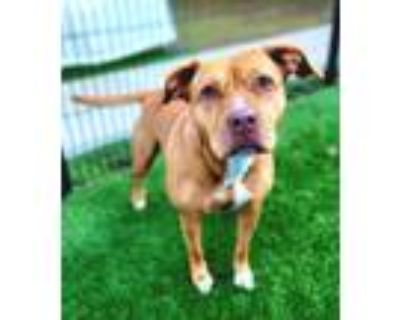 Adopt Honey 1254-21 a Brown/Chocolate American Pit Bull Terrier / Mixed dog in