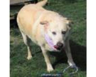 Adopt Suzy a Red/Golden/Orange/Chestnut - with White Labrador Retriever /