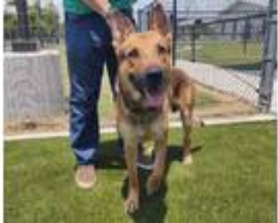 Adopt COLTON a Brown/Chocolate - with Black German Shepherd Dog / Mixed dog in