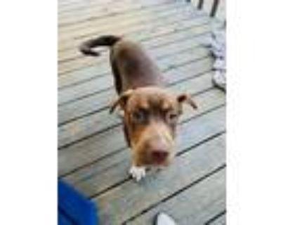 Adopt Trixy a Doberman Pinscher, Pit Bull Terrier