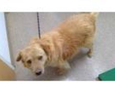 Adopt RANDY a Brown/Chocolate Golden Retriever / Mixed dog in Albuquerque