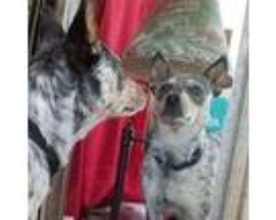 Adopt Seraphina a Australian Cattle Dog / Blue Heeler