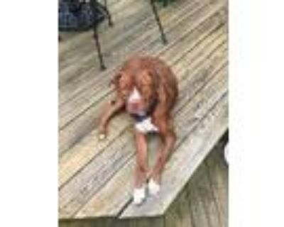Adopt Ruger a Red/Golden/Orange/Chestnut Pit Bull Terrier / Mixed dog in