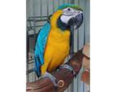 Rascal, Macaw For Adoption In Elizabeth, Colorado