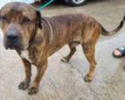 Adopt CASH a Brindle Mastiff / Mixed dog in Houston, TX (31871547)