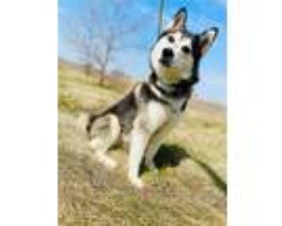 Adopt Trouble a Husky / Akita / Mixed dog in Genoa, IL (31061740)