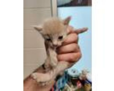 Adopt GABLE* a Cream or Ivory Domestic Shorthair / Mixed (short coat) cat in