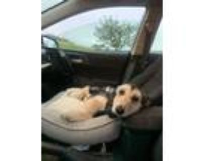 Adopt Barker a Afghan Hound / Mixed dog in Albuquerque, NM (32097755)