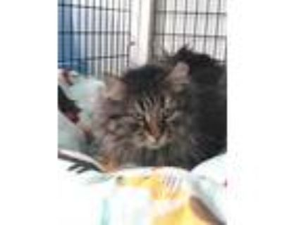 Adopt Dennis a Gray or Blue Domestic Longhair / Domestic Shorthair / Mixed cat