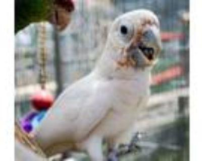 Adopt Gabriel a Cockatoo