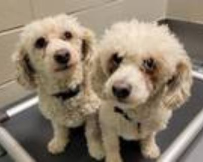 Adopt RUDY a Poodle