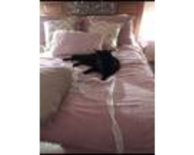 Adopt Onyx a Black & White or Tuxedo American Shorthair / Mixed (medium coat)