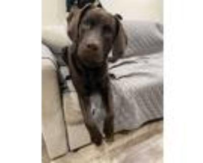 Adopt Aza a Brown/Chocolate Labrador Retriever / Mixed dog in Philadelphia