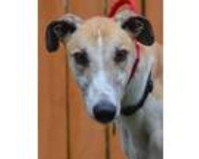 Adopt Dean a White - with Red, Golden, Orange or Chestnut Greyhound / Mixed dog