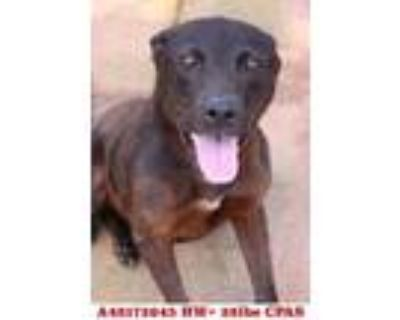 Adopt Bizzy B a Brown/Chocolate Terrier (Unknown Type, Small) / Mixed dog in