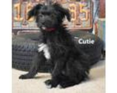 Adopt Cutie a Black Terrier (Unknown Type, Small) / Mixed dog in Yuma