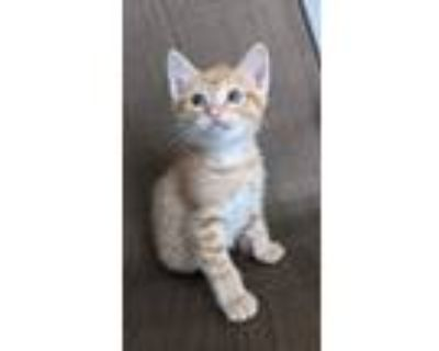 Adopt Simon a Orange or Red American Shorthair / Mixed (short coat) cat in Fort