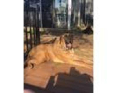 Adopt Optimus Prime a Mastiff, Catahoula Leopard Dog