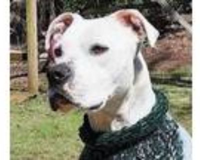 Adopt Jackson a Boxer, Labrador Retriever