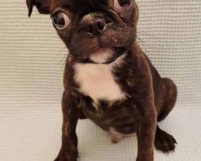 Bugg Male Puppy