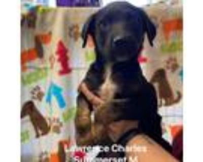 Adopt Lawrence Charles Summerset a Black Shepherd (Unknown Type) / Mixed dog in