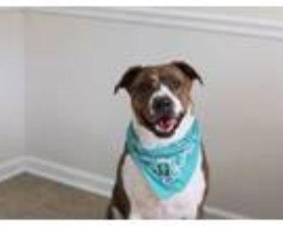 Adopt Leo a Pit Bull Terrier, Hound
