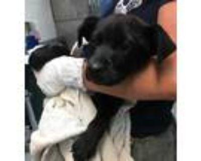 Adopt 47731148 a Black Labrador Retriever / Mixed dog in Los Lunas
