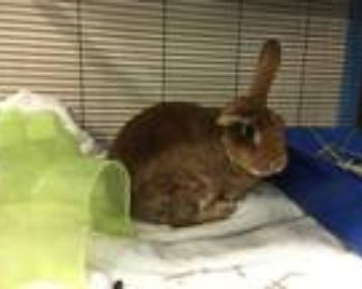 Adopt FRANKLIN a Fawn Other/Unknown / Mixed rabbit in Norfolk, VA (32012919)
