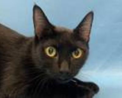 Adopt Moered a All Black Domestic Shorthair / Domestic Shorthair / Mixed cat in
