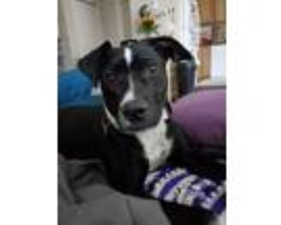 Adopt Luna a Black - with White Border Collie dog in oklahoma city