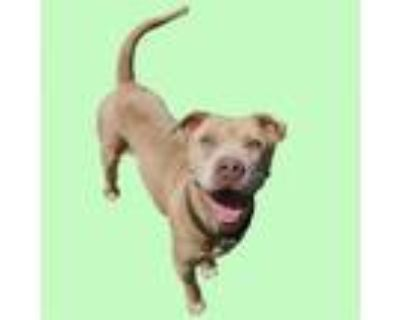 Adopt RUBEUS a Pit Bull Terrier, Mixed Breed