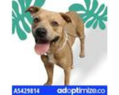 Adopt HERCULES a Tan/Yellow/Fawn - with White American Pit Bull Terrier / Mixed