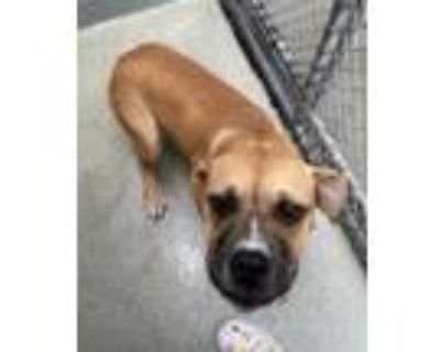 Adopt Abby a Boxer / Mixed dog in Washington, DC (31633840)