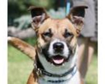 Adopt Liberty a Boxer / Shepherd (Unknown Type) dog in Denver, CO (31162885)