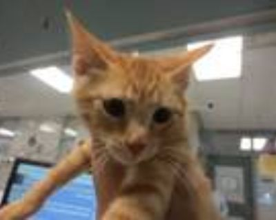 Adopt ROSS a Orange or Red Tabby Domestic Shorthair / Mixed (short coat) cat in