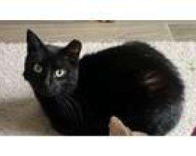 Adopt Bunny a All Black Domestic Shorthair (short coat) cat in Houston