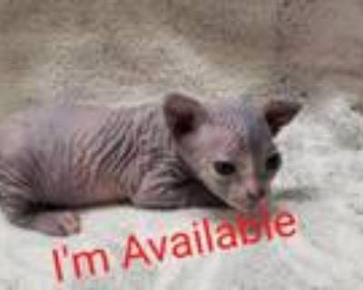 Female Sphynx Kittens