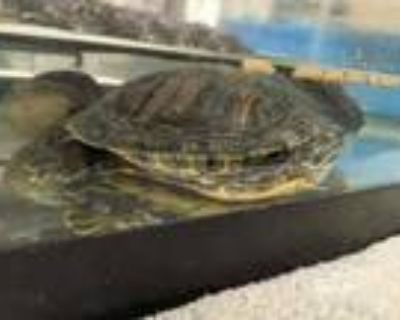 Adopt Cindy a Turtle - Other / Mixed reptile, amphibian, and/or fish in Palm