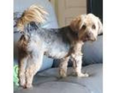 Adopt Murray a Yorkshire Terrier