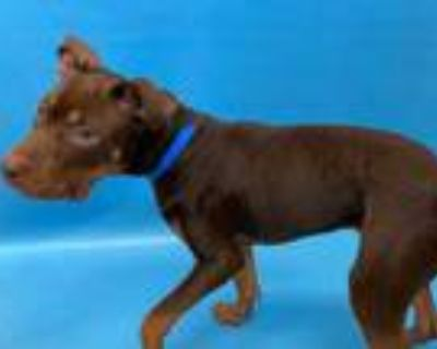 Adopt 48315560 a Brown/Chocolate American Pit Bull Terrier / Mixed dog in