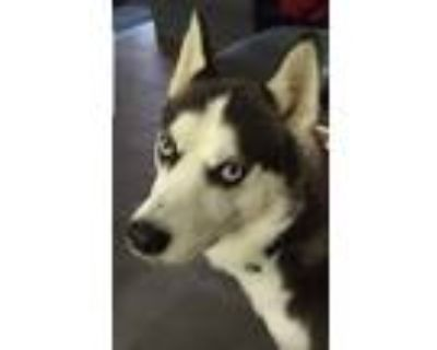 Adopt Sadie a Black - with White Husky / Husky / Mixed dog in Fort Worth
