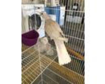 Adopt a Tan Dove / Mixed bird in Castaic, CA (31512819)