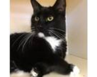 Adopt Eeyore a Domestic Short Hair