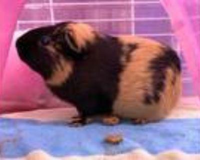 Adopt JO a Guinea Pig